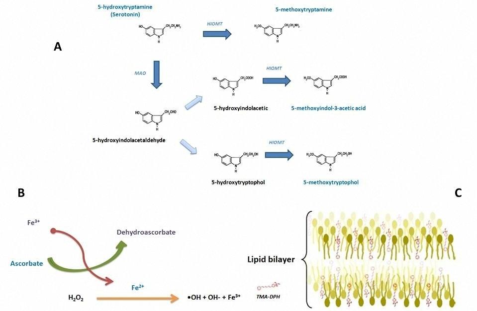 Antioxidant activity of pineal methoxyindoles on hepatocyte